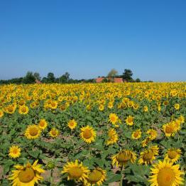Proizvođači ulja iz Srbije: Zabraniti izvoz suncokreta u BiH