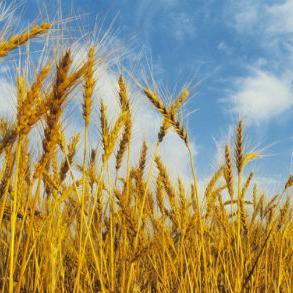Vlada RS zadužila je danas entitetsku Investiciono-razvojnu banku da u okviru postojećih kreditnih linija i zajmova osigura sredstva za otkup tržišnih viškova ovogodišnjeg roda pšenice koja je proizvedena u RS.