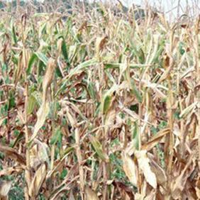 Predsjednik Udruženja poljoprivrednih proizvođača - mljekara Republike Srpske Vladimir Usorac ukazao je u izjavi Feni da su indirektne štete od suše u poljoprivredi u RS-u više od 500 miliona KM.