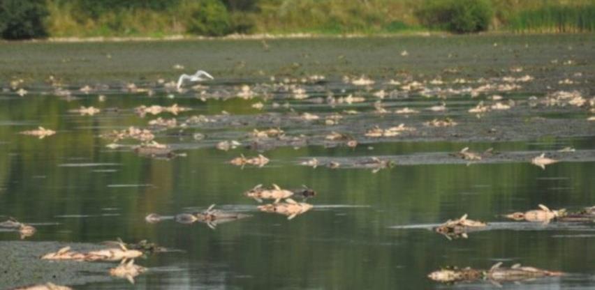Prnjavor: U 'Ribnjaku' uginulo više od pet tona ribe, na pomolu ekološka katastrofa
