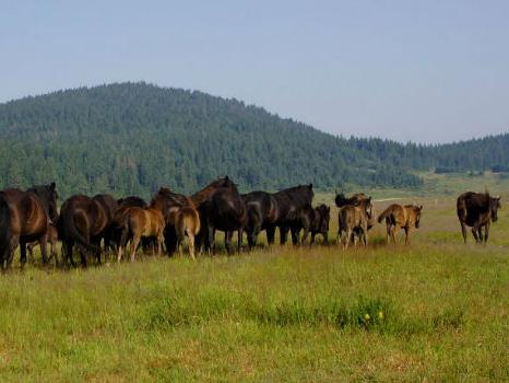 Bosanski brdski konji gladni i zaboravljeni: Da li će preživjeti zimu?