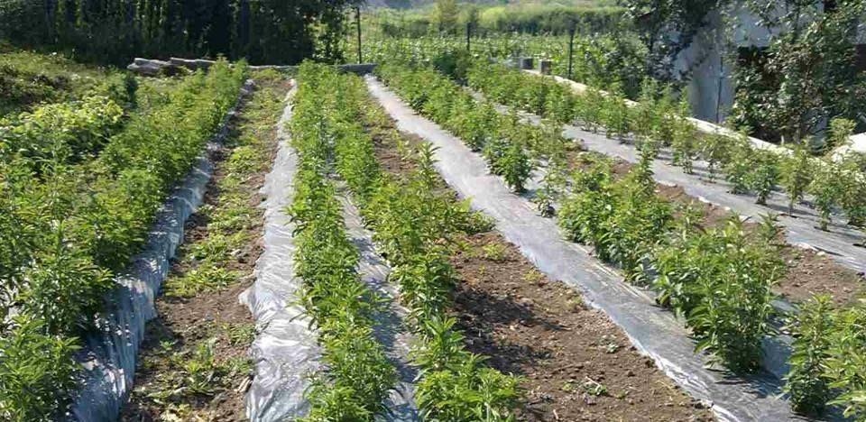 Porodica Konjići iz Zenice uzgaja steviju na jednom dunumu, a imaju i vlastite sadnice