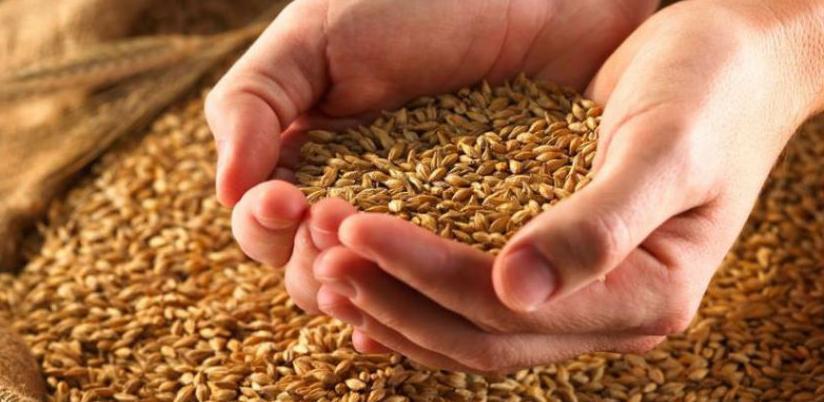 Prinosi pšenice viši od prosjeka