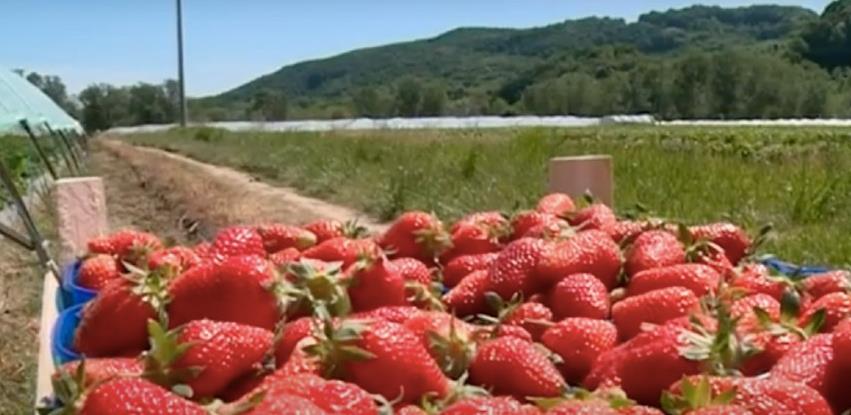Bez fabrika za preradu voća uzgajivači jagoda u neizvjesnosti