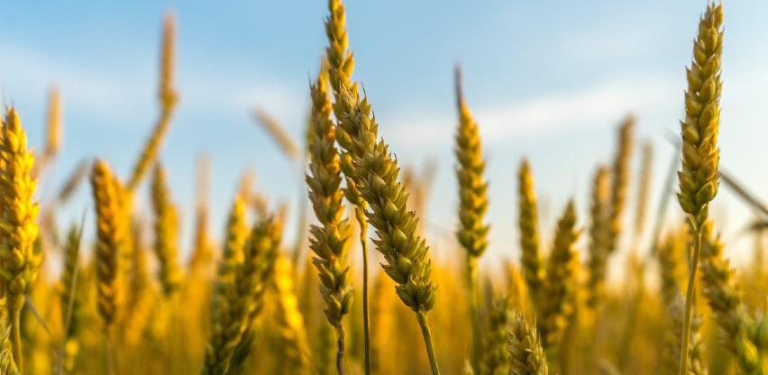 Otkup žitarica povećan za 41,2 odsto, a industrijskog bilja za 108,8 odsto
