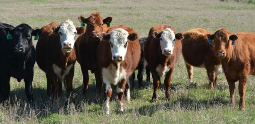 Problemi stočara sa uzgojem teladi