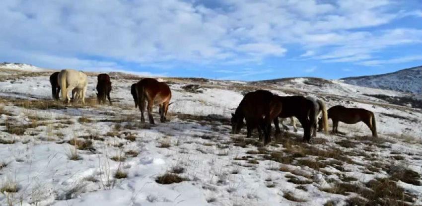 Livanjski divlji konji zanimljivi cijeloj Europi osim vlastima u BiH