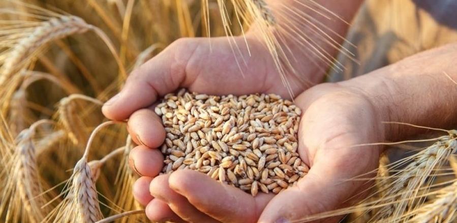 BiH bi zbog skuplje pšenice mogla da obere bostan
