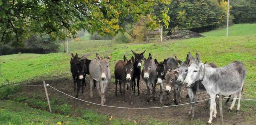 Uzgoj magaraca perspektiva: Kilogram sira na tržištu i do 1000 eura