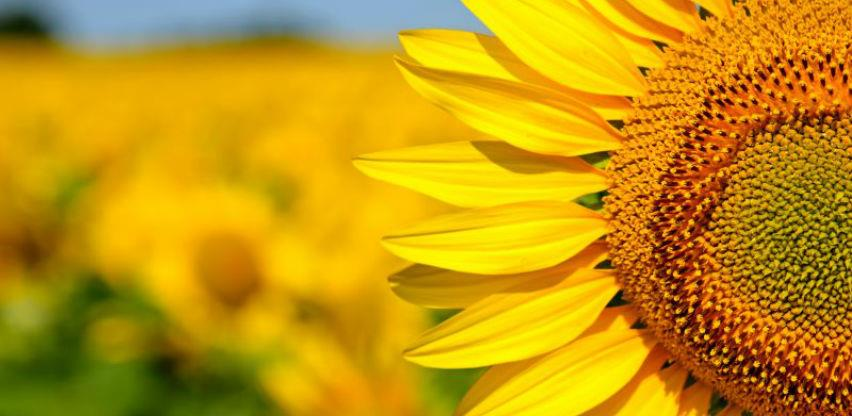 Na novosadskoj berzi sklopljeni prvi kupoprodajni ugovori za suncokret