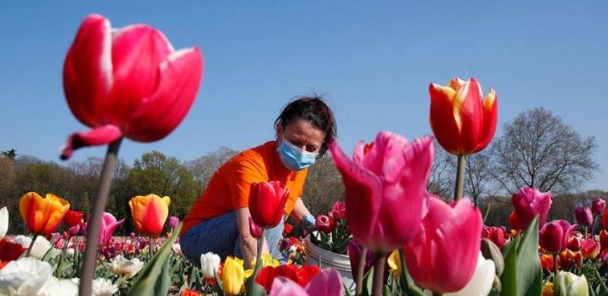 Korona 'pokosila' milione cvjetova u Holandiji