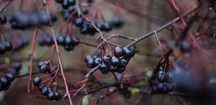 Čaša aronije dovoljna da u organizam unesete dnevnu potrebu vitamina i minerala