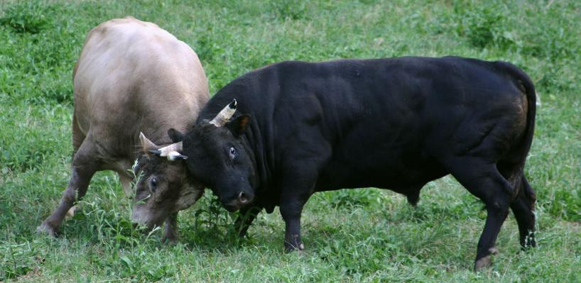 Iz BiH za Libanon ode od 1.200 do 1.800 grla bikova