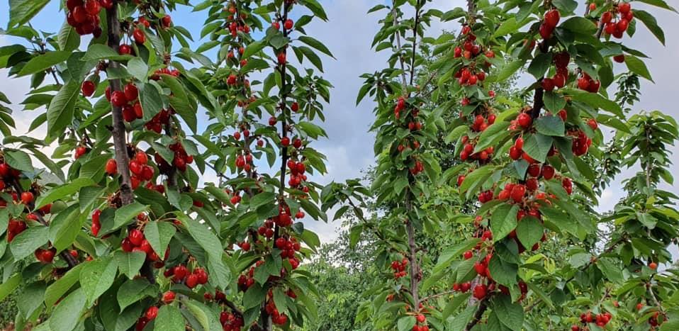Objavljen poziv za učešće u projektu jačanje proizvodnje trešnje u Hercegovini