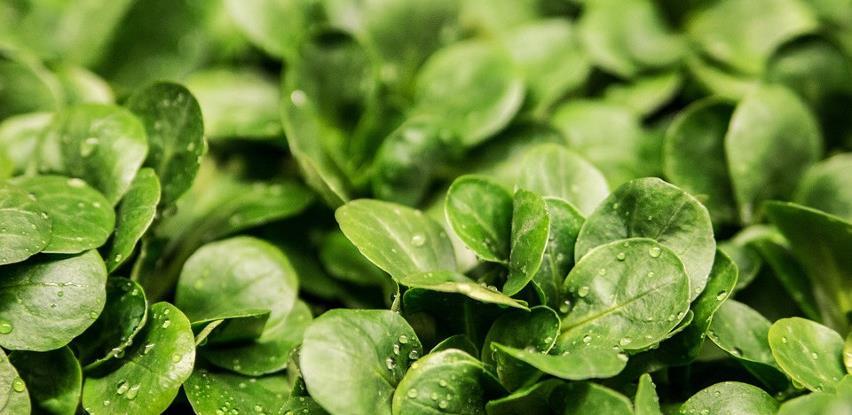 Iz BiH se najviše izvozila svježa salata, krompir i kornišoni