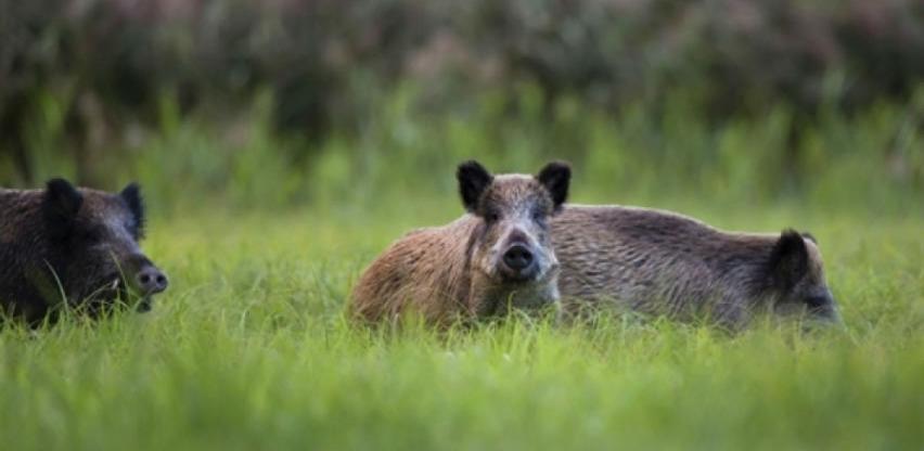 Afrička kuga svinja ozbiljna pretnja za balkanske zemlje