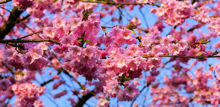 Danas otvorenje Festivala japanske trešnje u Sarajevu