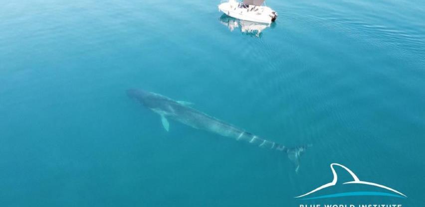 Pogledajte snimak drugog velikog kita u Jadranskom moru (VIDEO)