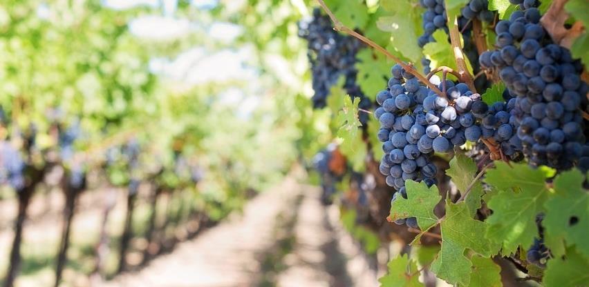 Novi vinogradi: Šest vinarija u Ljubuškom dobilo koncesije