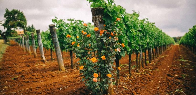 Hercegovina: Vinogradari očekuju dobru godinu