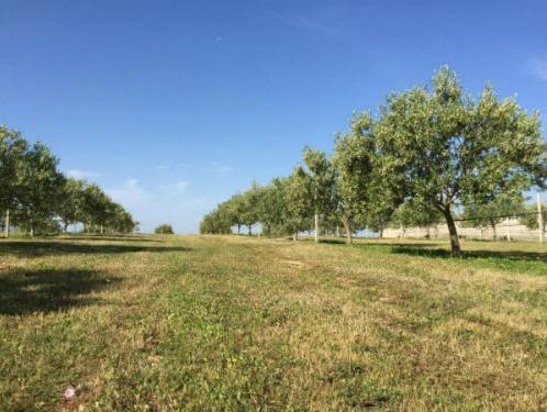 Ulje najvećeg maslinika u Hercegovini spremno za plasman na bh. tržište