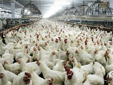 USK: Bez poticaja u peradarstvu nema ni jaja ni pilića