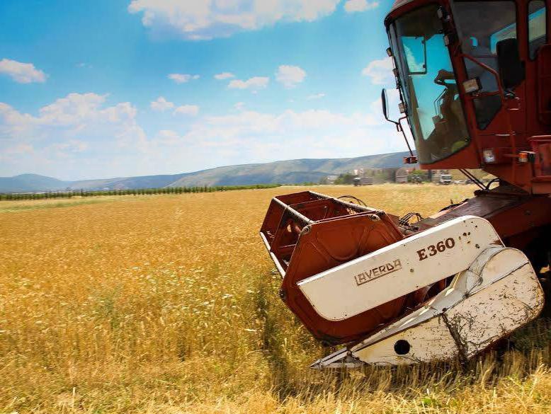 U najvećoj žitnici Hercegovine žetva pšenice u punom jeku