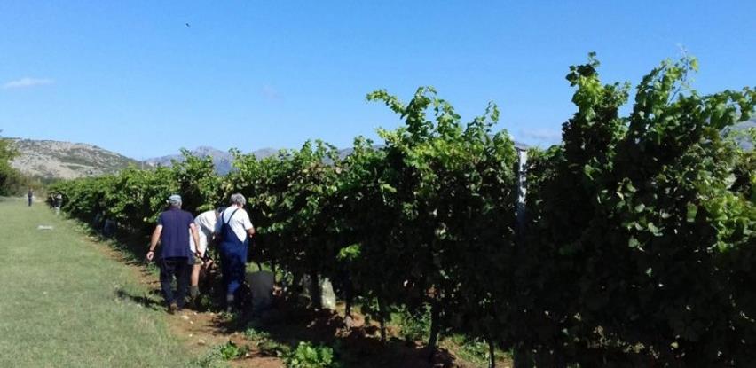 Vinograd star pola vijeka i dalje daje odlične prinose