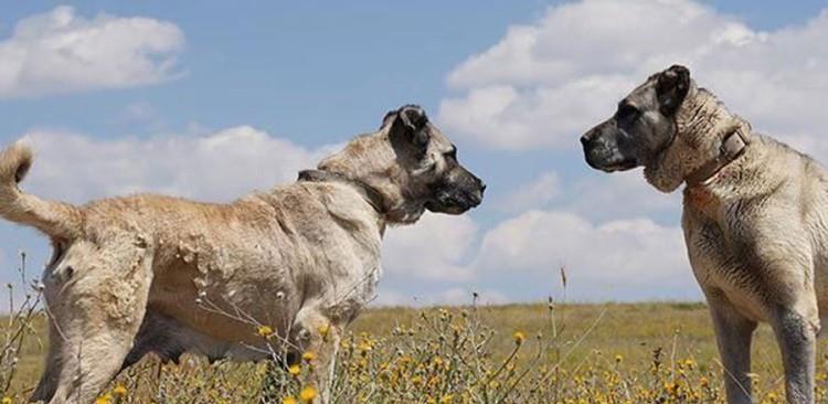 ovčarski i lovački psi
