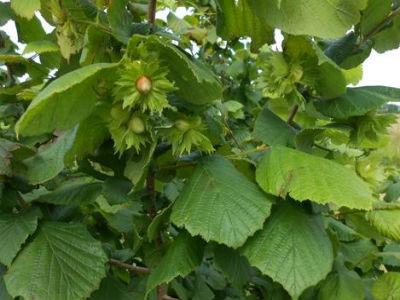 Predavanje o mogućnostima plantažnog uzgoja lješnjaka