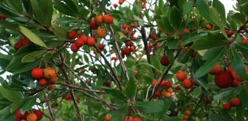 Jedistven rasadnik: Mediteransko drveće i bilje proizvodit će se u Trebinju