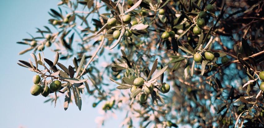 Ondje gdje je raslo smilje sade se masline, lavanda, slatki pelin...