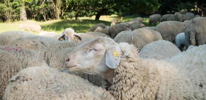 Zbog nedostatka ušnih markica mnogi poljoprivrednici neće dobiti poticaj