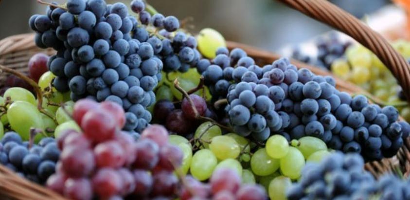 U Agrofinu, najvećem vinogorju počela berba grožđa
