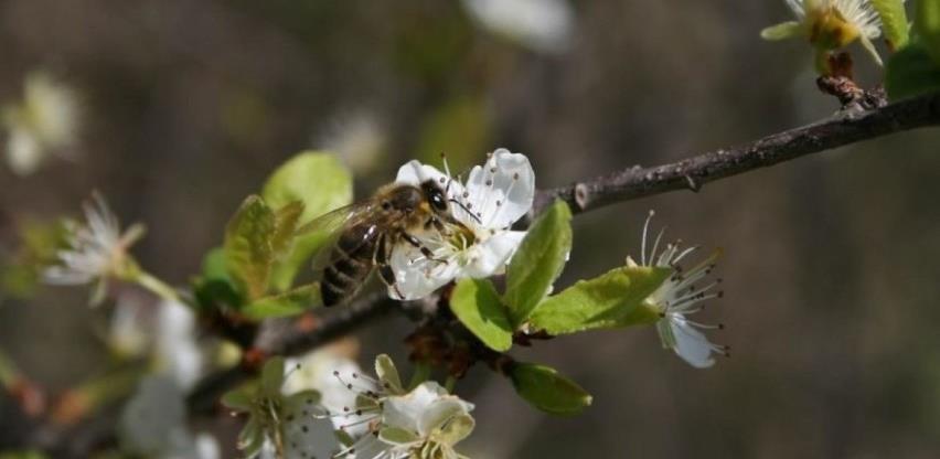 INZ: Pčele oprašivanjem donose bolji urod, ali ih mala nepažnja može ubiti