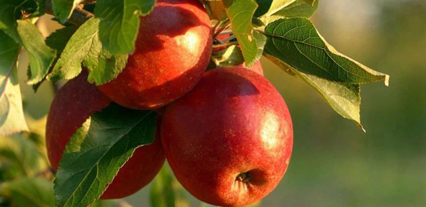 Šarović: Jabuke iz BiH mogu se ponovo izvoziti u Rusiju