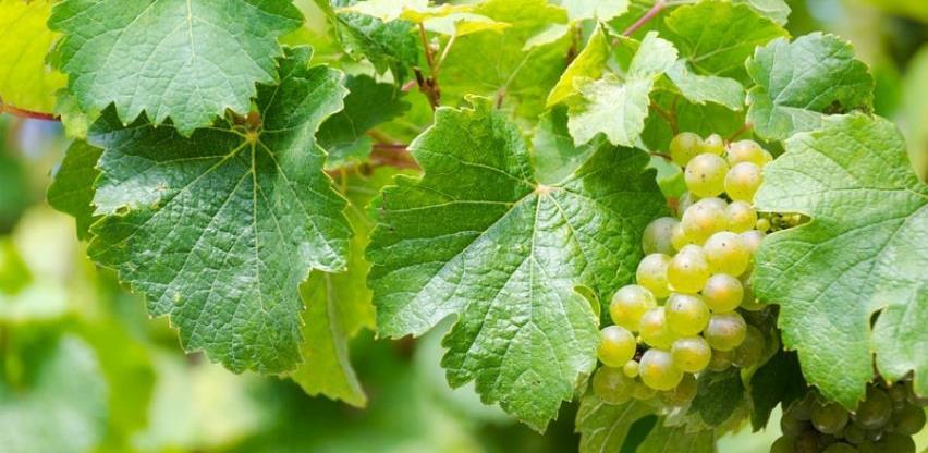 Rusi zainteresovani za uvoz autohtonih presadnica vinove loze