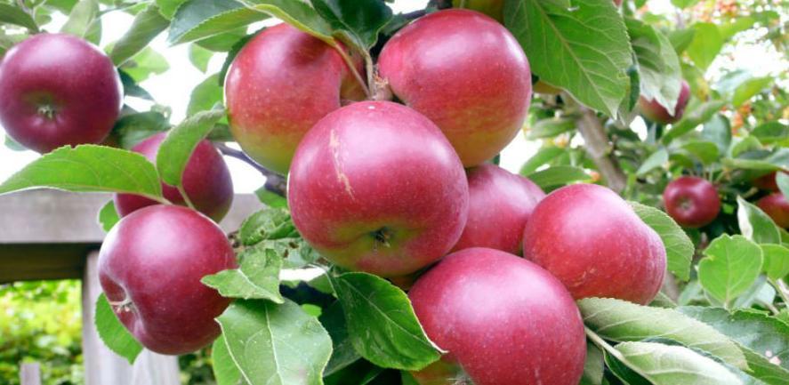 Od ponedjeljka stupa na snagu zabrana: Rusija neće uvoziti jabuke iz BiH