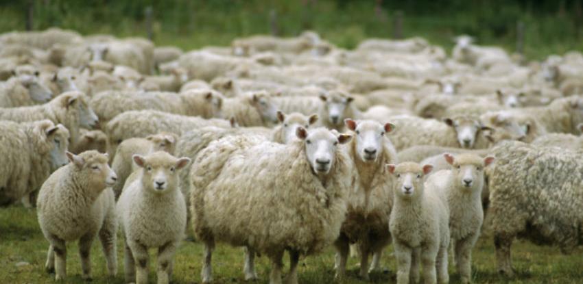 Od 10. maja: Na Kupresu se zabranjuje ispaša stoke u poljima
