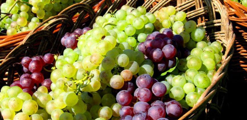 Uspješna sezona za hercegovačke vinare