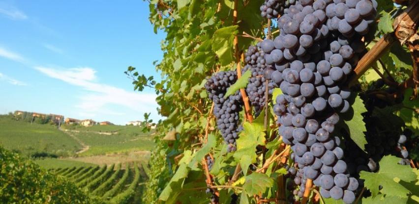 Domaći vinari novu berbu dočekaće punih podruma