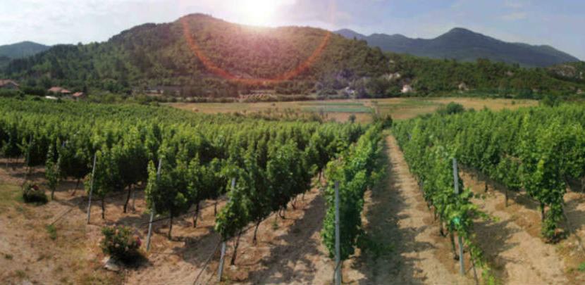 Autohtone i internacionalne sorte vinove loze u vinogradima Vukoje