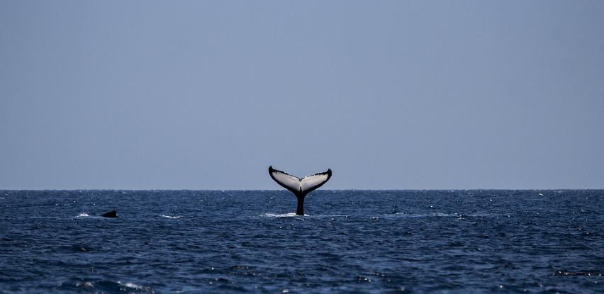 U Jadranskom moru snimljen kit duži od 15 metara (FOTO)