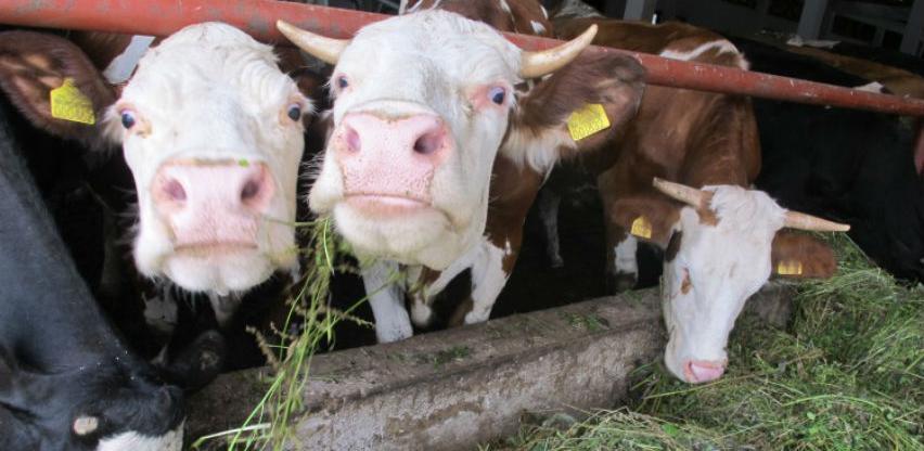 Inspektori EU u Poljskoj nakon izvoza mesa oboljelih krava