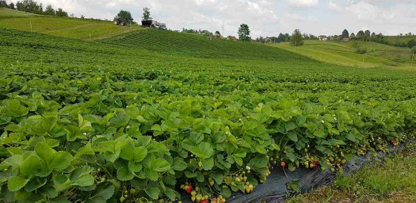 EkoMozaik poljoprivrednici uzgajaju vrhunske jagode