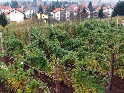 LOK Sarajevo: U proizvodnju jagodičastog voća plasirano oko 1,5 miliona KM