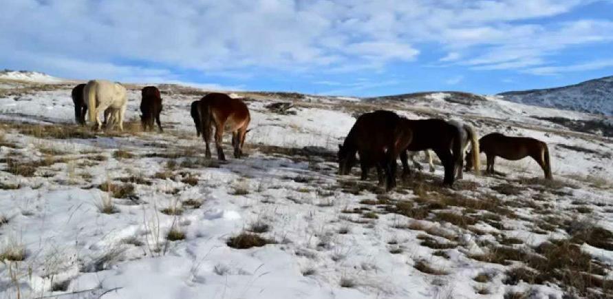 Livanjski konji traže hranu u Duvnu!