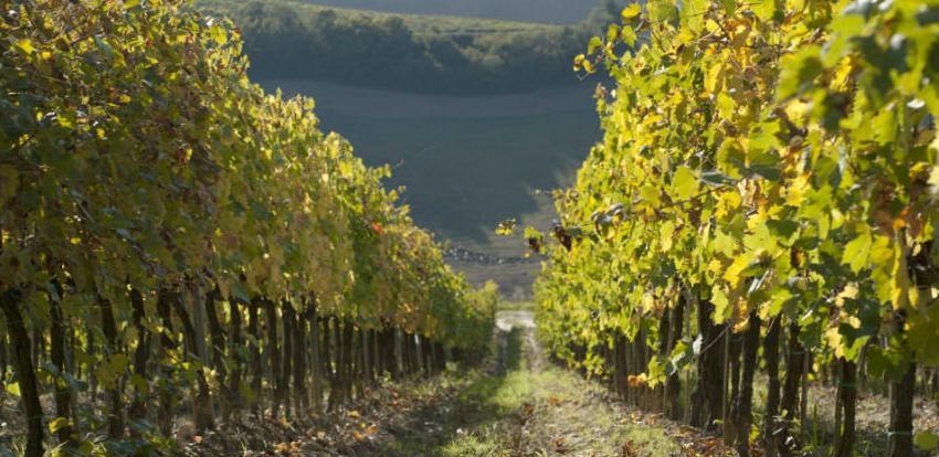 Najmanja proizvodnja vina u posljednjih 60 godina