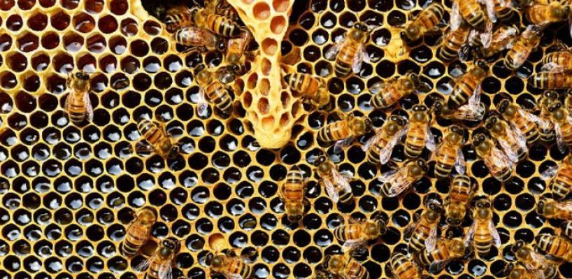 Slovenija želi pčele proglasiti ugroženom vrstom