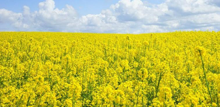 Teško odustaju od uzgoja ljekovite biljke: Zbog smilja nekad ravnali i brda